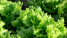 The beds of lettuce in garden stock video footage