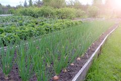 Free Beds Of Growing Onions And Strawberries In Farm, Gardening And Farming Concept. Royalty Free Stock Images - 165210189