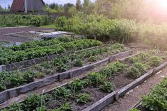 Free Beds Of Growing Onions And Strawberries In Farm, Gardening And Farming Concept. Stock Photos - 165210323