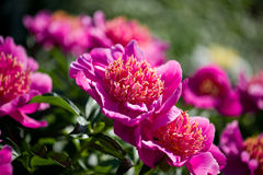 Beds with peonies Stock Photography