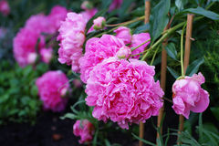 Beds with peonies in garden. Stock Photo