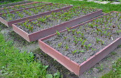 Beds with red beet on a garden site Royalty Free Stock Image