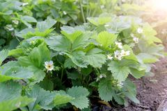 Free Beds With Growing Blooming Strawberries Plants In Farm, Gardening And Farming. Stock Image - 165210121
