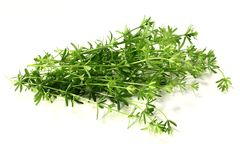 Bedstraw Royalty Free Stock Photography