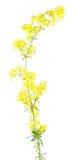 Bedstraw amarelo & x28; Verum& x29 do Galium; isolado no fundo branco Planta medicinal Imagem de Stock Royalty Free