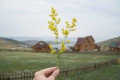 Bedstraw do ` s da senhora na frente da vila do Lago Baikal foto de stock