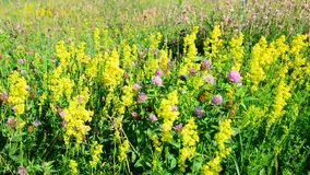 Bedstraw, heather and clover on meadow. Bedstraw, heather and clover on a meadow stock footage