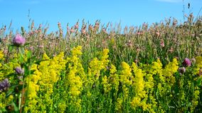 Bedstraw, heather and clover on meadow. Bedstraw, heather and clover on a meadow stock video footage