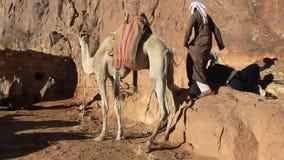 Beduínos com os camelos em Moses Mountain. Peninsula do Sinai, Egito filme