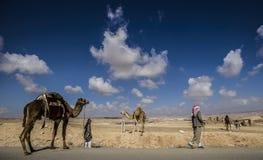 Beduínos com um rebanho dos camelos Foto de Stock Royalty Free