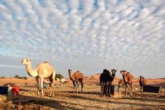 beduińscy wielbłądy Zdjęcie Royalty Free