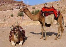 Beduińscy wielbłądy w Petra, Jordania fotografia royalty free