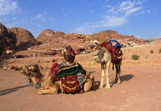 Beduińscy wielbłądy w Petra, Jordania Obrazy Royalty Free