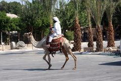 Beduiński mężczyzna czekania turysta blisko jego dromadera w Jerychońskim obrazy royalty free