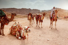 Beduin with camels in Petra Stock Images