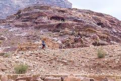 Beduin - chauffören rider en åsna och rymmer tre kamel i Petra - huvudstaden av det Nabatean kungariket i den Wadi Musa staden i  arkivfoton