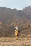 Beduin på hans kamel, Sinai, Dahab Royaltyfri Fotografi