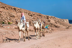Beduine reitet Kamel Stockfoto