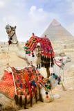 Beduinisches Kamel steht nahe den Pyramiden still Lizenzfreie Stockbilder