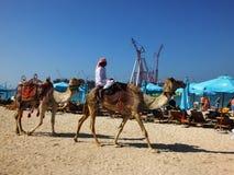Beduino con los camellos en la playa fotografía de archivo libre de regalías