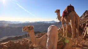 Beduino y camellos. Monte Sinaí. Egipto almacen de video