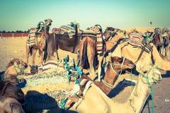 Beduins belangrijke toeristen op kamelen bij korte toeristenreis rond Stock Foto's