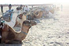 Beduins con il gruppo di cammelli Fotografia Stock