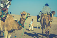 Beduins leading tourists on camels at short tourist tour around Royalty Free Stock Photo