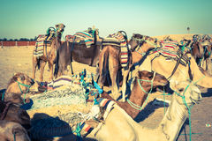 Beduins leading tourists on camels at short tourist tour around Stock Photos