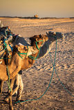 Beduins leading tourists on camels at short tourist tour around Royalty Free Stock Image