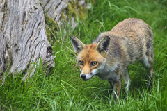 Bedöva bild av vulpesvulpesen för röd räv i frodig sommarcountrysi Royaltyfri Foto