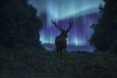 Bedöva landskapbild av den silhouetted fullvuxna hankronhjorten för röda hjortar Arkivbilder