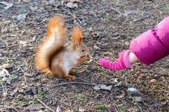 Bedwongen, gewone eekhoorn, wolsinaasappel De dierlijke zitting op droge bladeren en eet met de kind` s hand stock fotografie