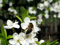 Bee 1. Bee on the cherry-plum flowers stock photos