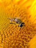 Bee. Royalty Free Stock Photos