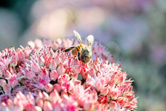 Bee. Close-up photo of a bee in a flower field collecting honey stock photos