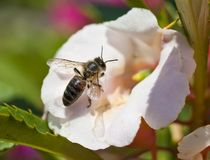 Bee. Honey bee on the white flower Stock Photography