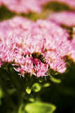 Bee. Gathering nectar from pink flower stock images