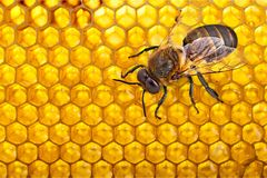Free Bee Royalty Free Stock Image - 114279336