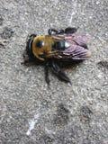 Bee2 fotografia de stock