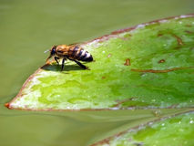 Bee. On a green sheet of water lilies on a sunny day Stock Photography