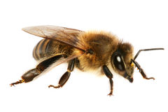 Free Bee Stock Image - 1238281