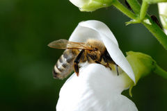 Bee. During pick up of ambrosia from flower Royalty Free Stock Image