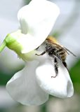 Bee. During pick up of ambrosia from flower Royalty Free Stock Photo