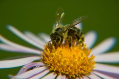 Bee. On yellow marguerite, horizontally framed shot stock photography