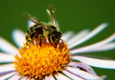 Bee. On yellow marguerite, horizontally framed shot royalty free stock photo