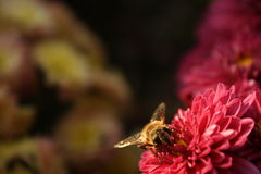 Harvesting bee. Closeup of a honeybee at work on a red flower Stock Images