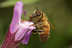 Bee. Feeding on a purple flower Royalty Free Stock Photos