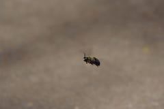 Bee. Flying Bumble Bee Royalty Free Stock Photo
