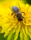 Bee. Macro with a bee on a yellow flower Royalty Free Stock Image